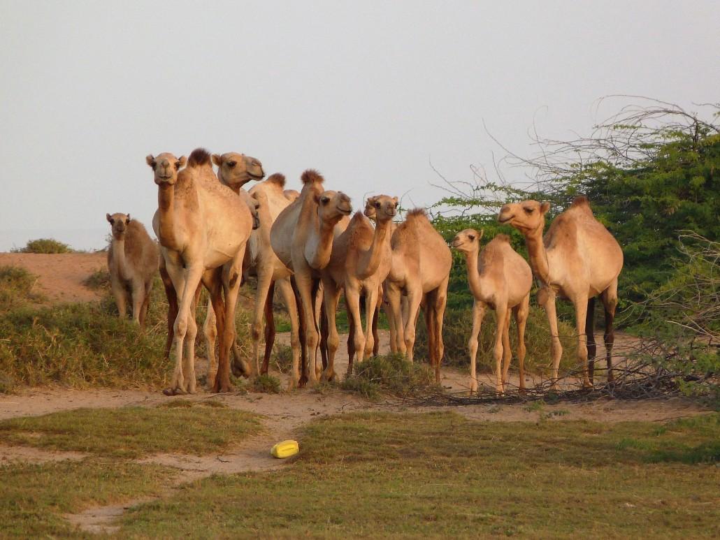 Cattle grazing - SomalilandBIZ Livestock Sector Guide