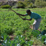 Negative Effects of Ethiopian Agricultural Imports on Local Somaliland Farmers